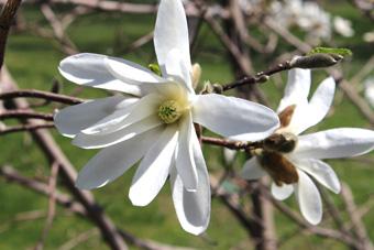 Magnolias are in blossom